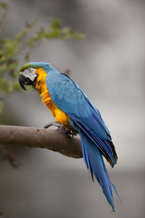 Blue and Yellow Macaw portrait photo  Stock Photo - 16976045