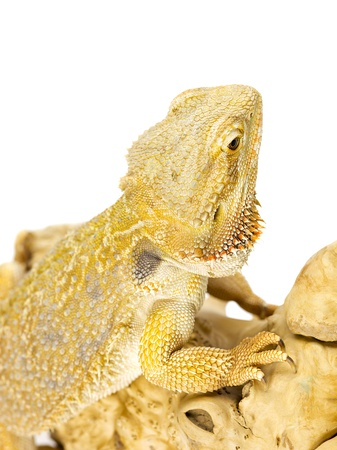 bearded dragon lizard: Close-up shot of bearded dragon lizard on white background Stock Photo