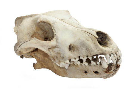Dog skull isolated on white background photo