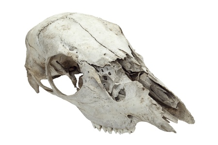 Detailed shot of old broken animal skull over plain white background  Stock Photo - 16973762