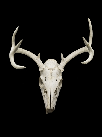 elk horn: Image of a deer skull isolated on black background  Stock Photo