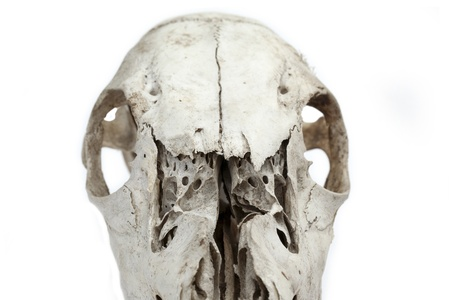 Portrait of horse skull half view isolated on a white background photo