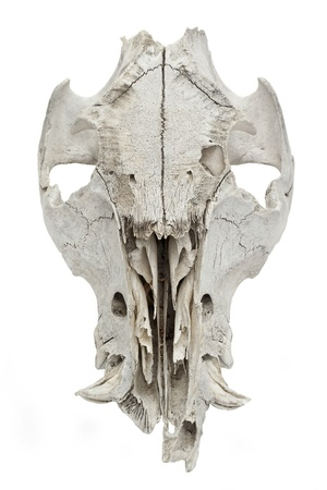 White goat skull isolated on a white background photo