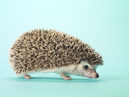 Close-up of a hedgehog isolated on turquoise background. Stock Photo - 16995082