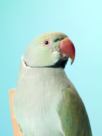 Close-up shot of a parrot isolated against turquoise background. Stock Photo - 16995103