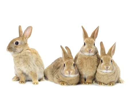 Group of rabbits in brown colors in a close-up image photo