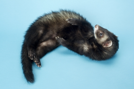 stoat: Close-up image of a black ferret playing in a blue surface