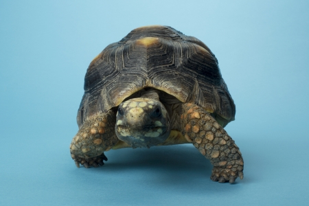 tardy: Close-up image of a tardy tortoise against the blue background