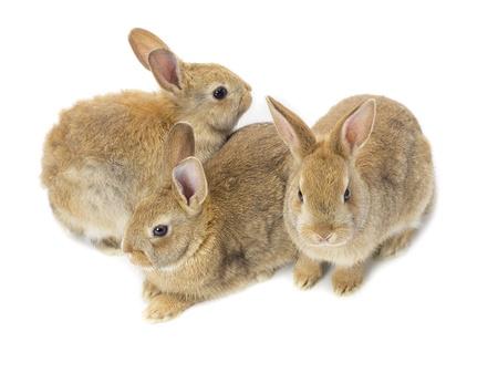 Portrait of three brown Rabbit
