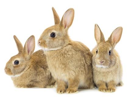 白で隔離される 3 つの茶色のウサギ