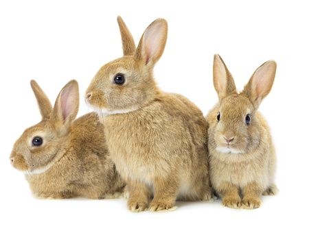 Three brown rabbits isolated on white photo