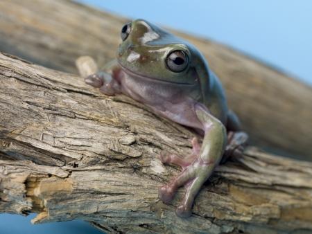 arboreal frog: Imagen de primer plano de una rana de �rbol