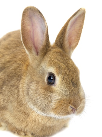 Brown bunny rabbit photo