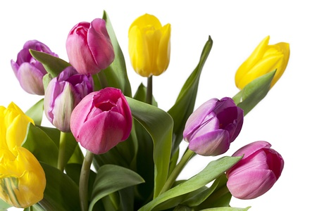 cropped shots: Detailed cropped shot of colorful tulip flowers against white background. Stock Photo