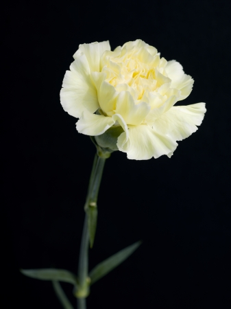 Yellow carnation flower on a black background Stock Photo - 16986041