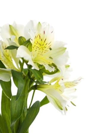 stargazer lily: Yellow stargazer lily on a white background Stock Photo
