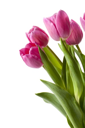 pink tulips: Close-up shot of pink tulip flowers isolated on white background. Stock Photo