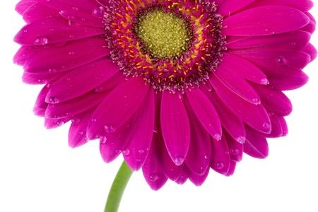 pink daisy: Close-up shot of wet pink daisy flower