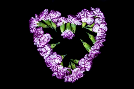 Purple carnation flower forming a heart shape over the black background Stock Photo