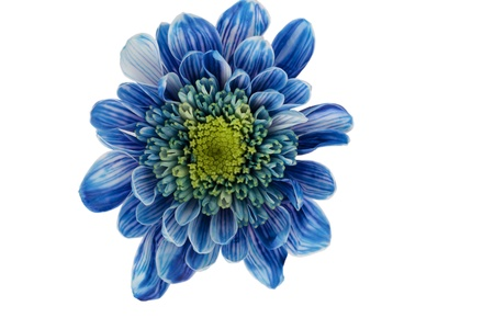tropical flowers: Close up image of blue daisy isolated on white background