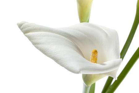 fleur arum: Fleur blanche dans une image en gros plan Banque d'images
