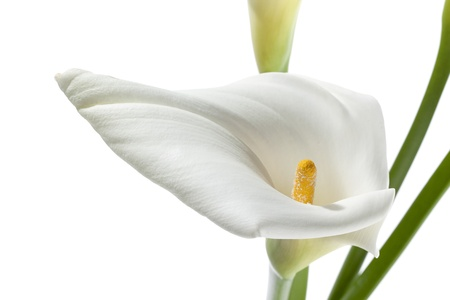 arum: White flower in a close-up image