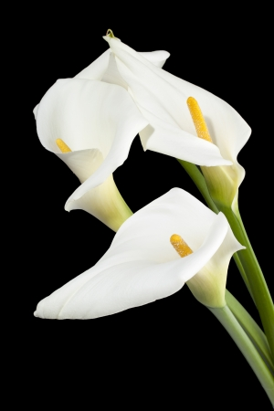 arum flower: Portrait of a white peace calla lilies isolated on the dark