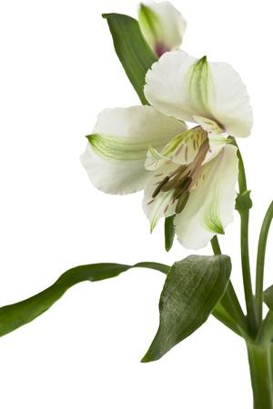 lirio blanco: Blanco lirio de flores en una vista lateral y macro imagen