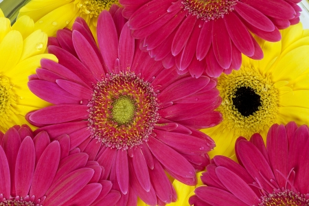 pink daisy: Macro shot of Yellow and pink daisy flowers