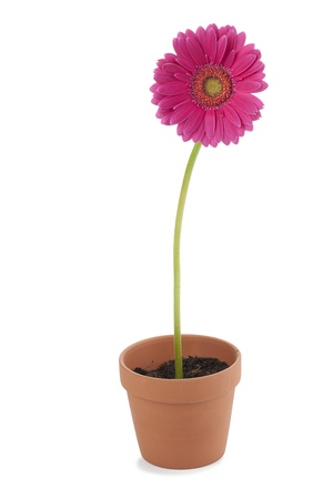 pink daisy: Close-up shot of pink daisy flower in potted plant. Stock Photo