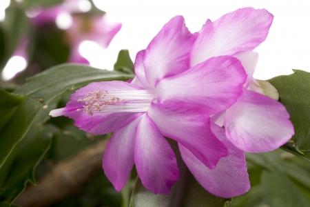 esporas: Flor rosa y esporas en la imagen macro mientras que las hojas verdes en fondo.