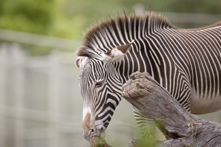 Gervys Zebra with beautiful striped patterns on its face and body.