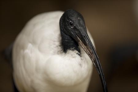 ducking: Un Ibis sagrado africano mirando a la c�mara para una foto retrato. Foto de archivo
