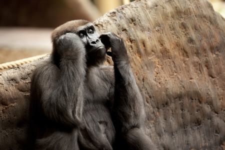 Young ape looking out far as if day dreaming. Stock Photo - 17109944