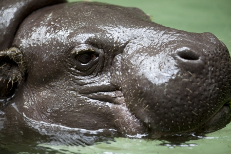 Hippopotamus looking at camera while cooling down in a pool of water.