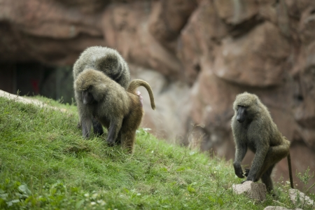 Group of Baboon showing cooperation in hunt for food. Stock Photo - 17093092