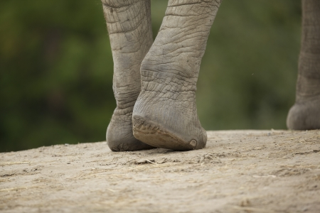 African elephant is the living land animal with the largest feet size. Stock Photo - 17101354