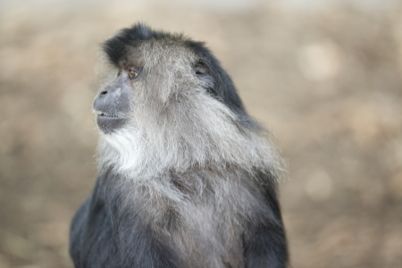 Side View portrait of an African Macaque in a zoo. Stock Photo - 17109933