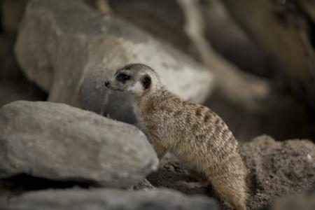 Meerkat digging to create a burrow. Stock Photo - 17109930