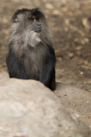 Macaque's unique hairstyle on the head makes it look aggressive and larger, a defence against predator. Stock Photo - 17101388