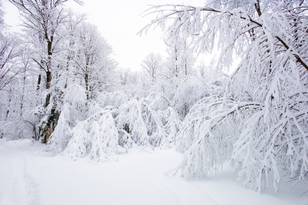 winter storm: Snow takes over the trees off a trail in Haliburton, Ontario