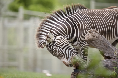 Grevy's Zebra in a zoo trying to bite wood off a trunk. Stock Photo - 17121074