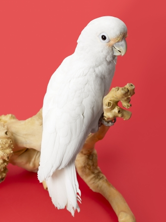 Portrait of a white parrot standing on a branch of trees Stock Photo - 17120793
