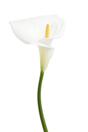 Portrait of white calla lily isolated on a white background photo