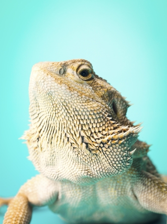 bearded dragon lizard: Front view close-up of a bearded dragon lizard. Stock Photo
