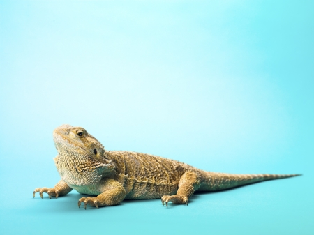 bearded dragon lizard: Bearded dragon lizard isolated on turquoise background. Stock Photo