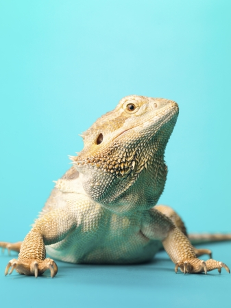 bearded dragon lizard: Bearded dragon lizard looking away while standing over turquoise background. Stock Photo