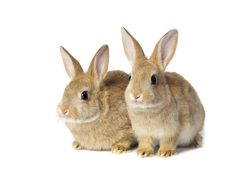 Portrait of brown bunnies on white