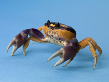 Sand crab crawling over a blue surface photo