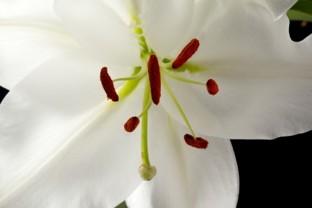Macro cropped shot of a white tulip flower and spores. photo